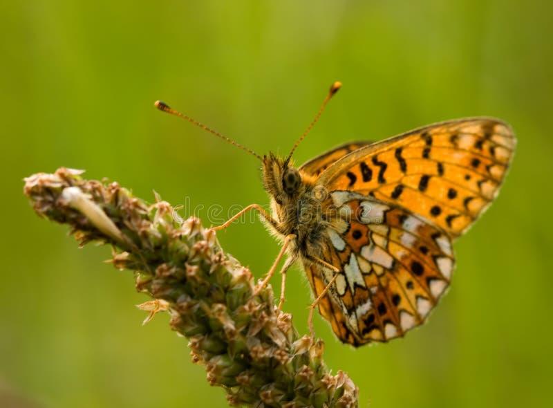 gränsad fjärilsfritillarysilver royaltyfria foton