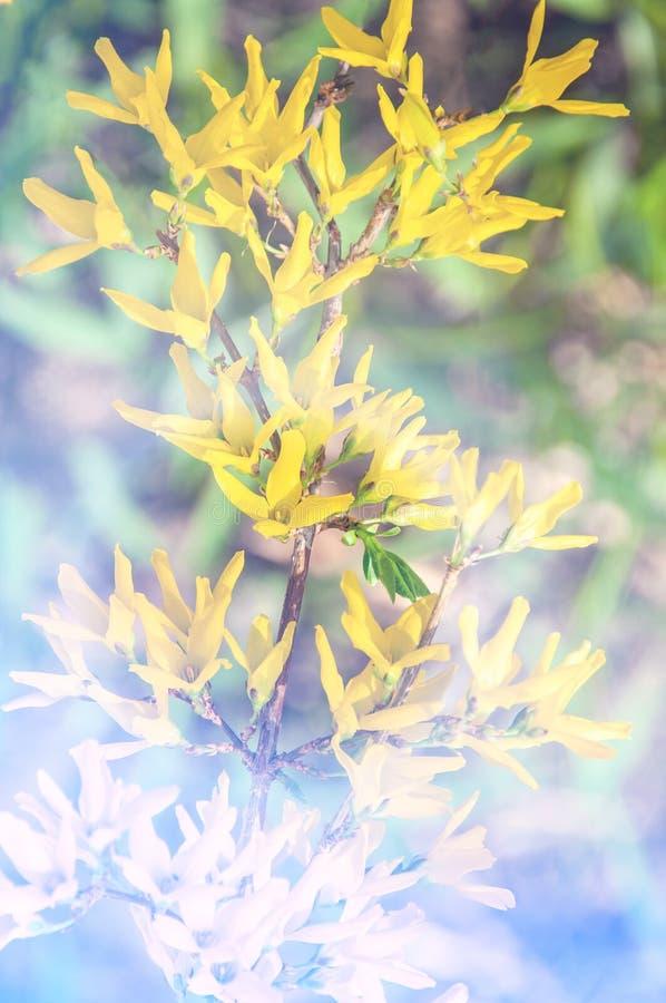 Gränsforsythia är en dekorativ lövfällande buske av trädgårdursprunget Forsythia blommar framme av med gr?nt gr?s och bl? himmel royaltyfria bilder