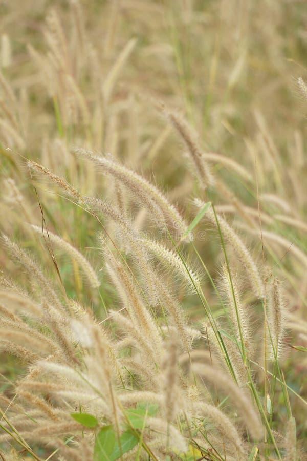 gräs är vindfladdrandet royaltyfria foton