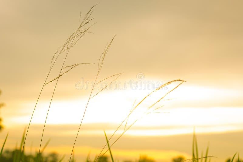 Gräs blommar med solnedgång royaltyfri foto