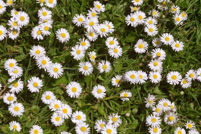 Gräs- fält av vit- och gulingtusenskönor royaltyfria bilder