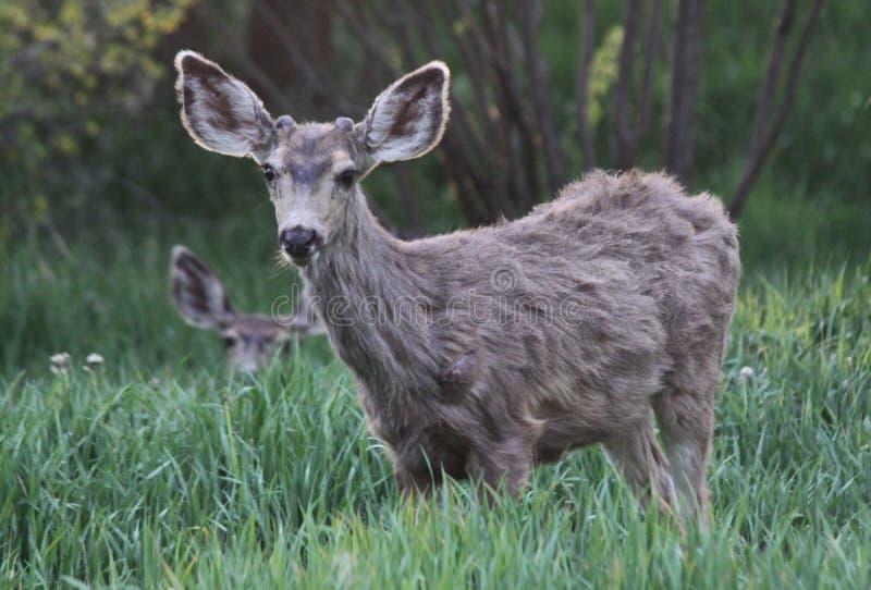 Gräs- fält för mulahjortar royaltyfri bild