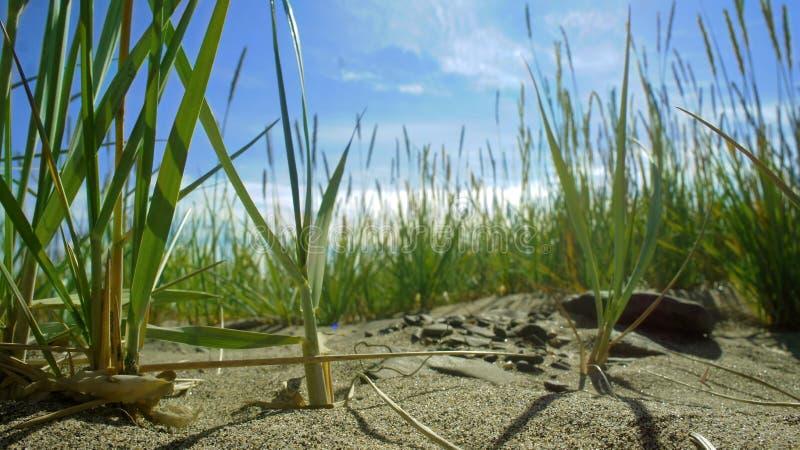 Gräs för blå himmel upp på den sandiga stranden royaltyfri foto
