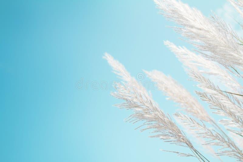 Gräs för vit fjäder för Softness med retro bakgrund och utrymme för himmelblått royaltyfri bild