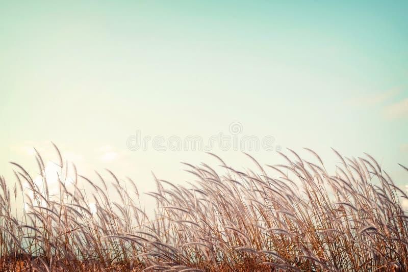 Gräs för vit fjäder för Softness med retro utrymme för blå himmel arkivbild
