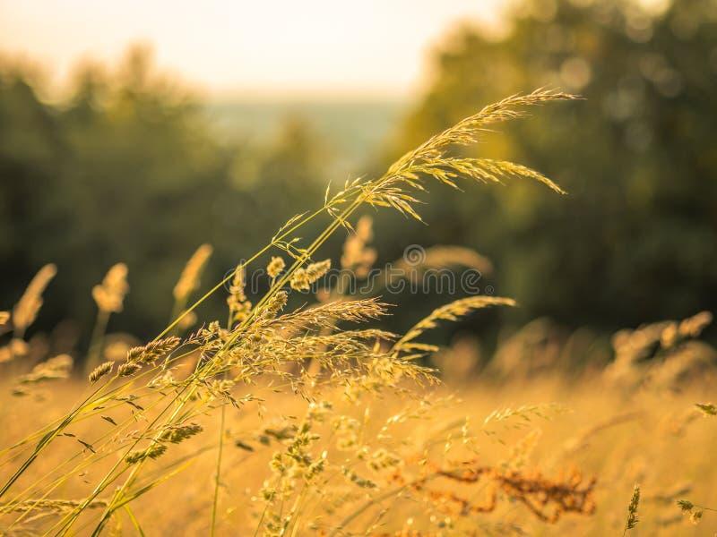 Gräs i ett öppet fält som är berört vid det varma sommarljuset royaltyfria foton