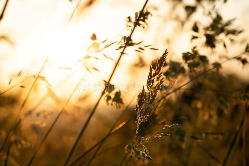 Gräs i ett öppet fält som är berört vid det varma sommarsolnedgångljuset arkivbilder