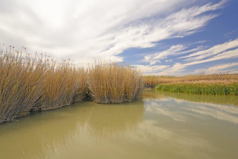Gräs i ett bäverdamm fotografering för bildbyråer