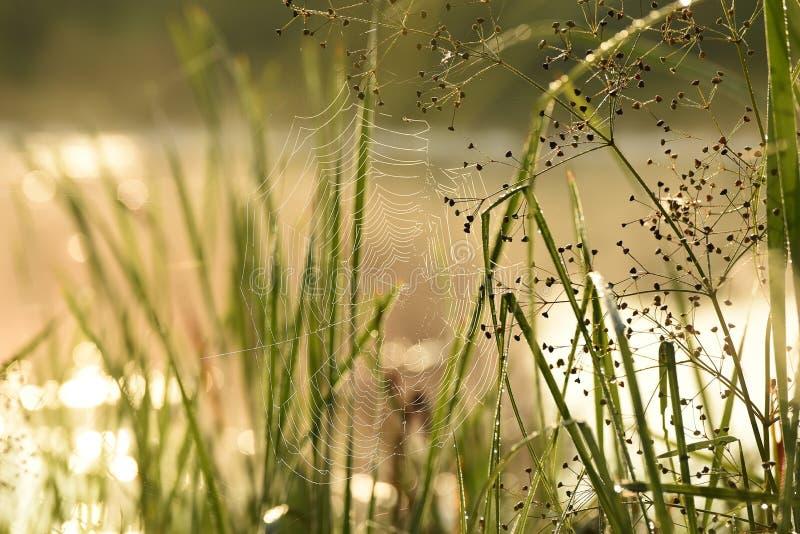 Gräs i små droppar av dagg och poutuinkaen tidigt på morgonen royaltyfri bild