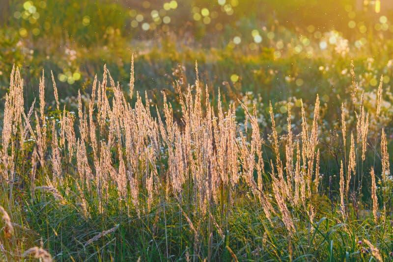 Gräs ljus av den suddiga bakgrunden för inställningssolen av en bokeh för frodig äng royaltyfria foton