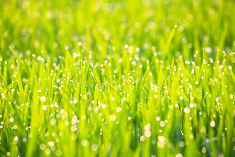 Gräs med morgondagg i solskenabstrakt begreppbakgrund arkivfoto