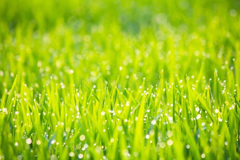 Gräs med morgondagg i solskenabstrakt begreppbakgrund - serie 3 royaltyfria bilder
