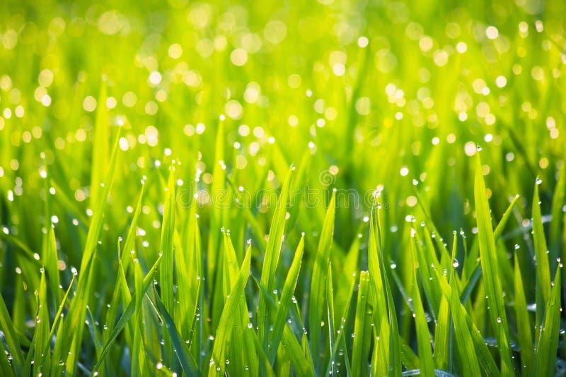 Gräs med morgondagg i solskenabstrakt begreppbakgrund - serie 2 royaltyfria foton