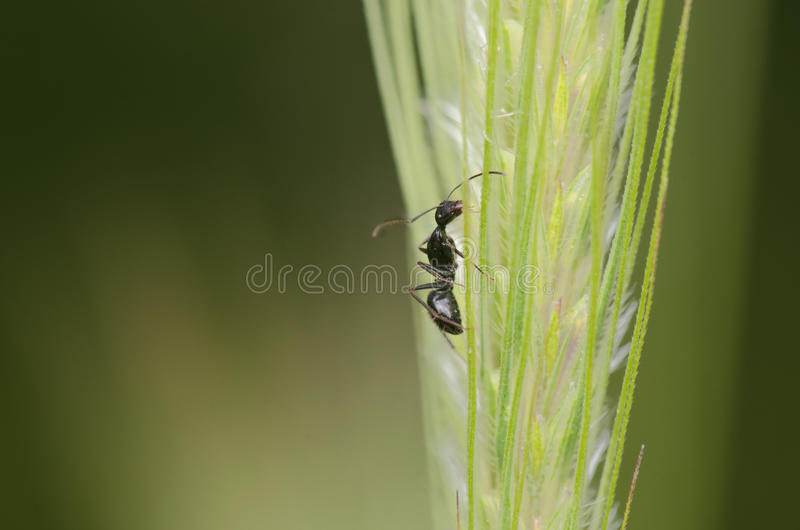 Gräs med myran för liten svart arkivfoto