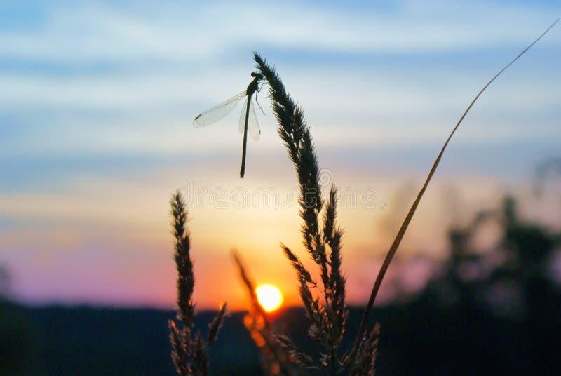 Gräs med sländan mot himmel och solen på solnedgången arkivfoton