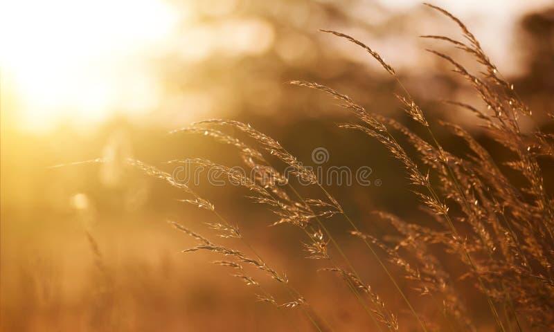 Gräs och pollen i den blåsa vinden royaltyfri bild