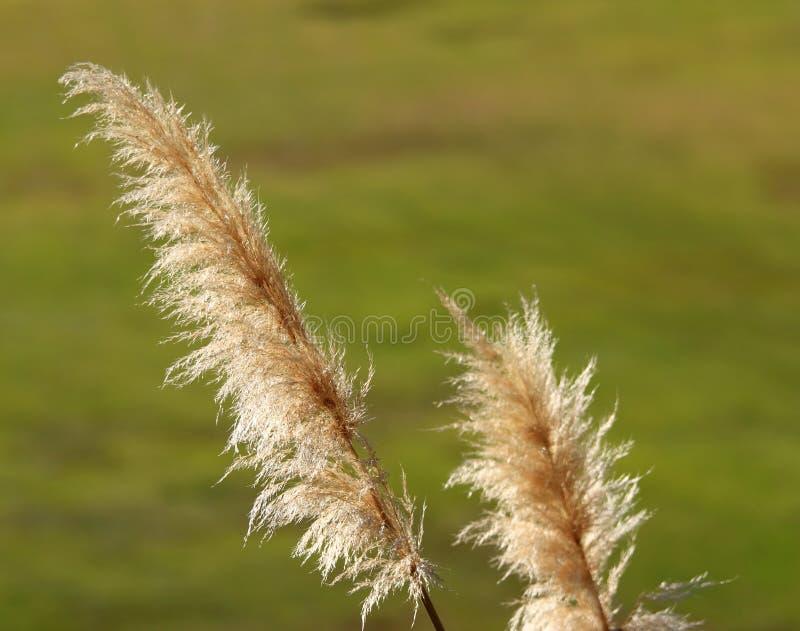gräs pampas royaltyfria bilder