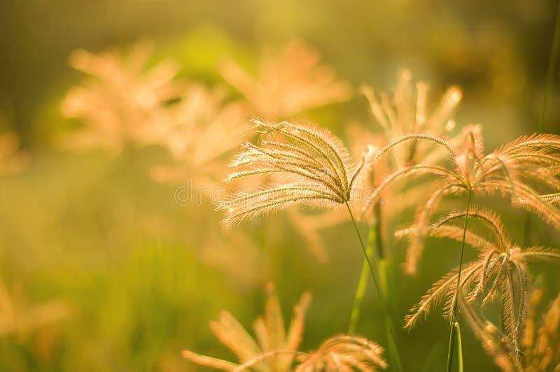 Gräs skönhetarbete i aftonen arkivbilder