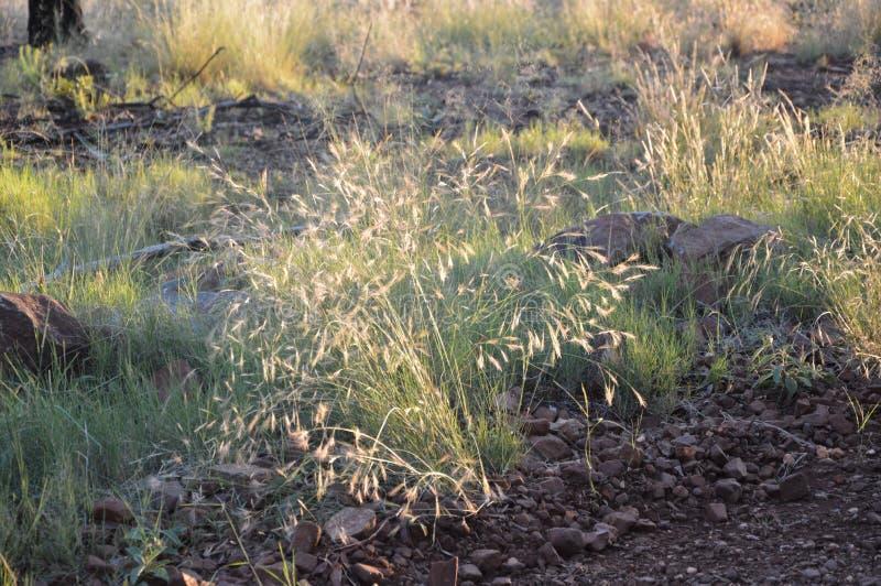 Gräs som kärnar ur tid i Sydafrika royaltyfri foto