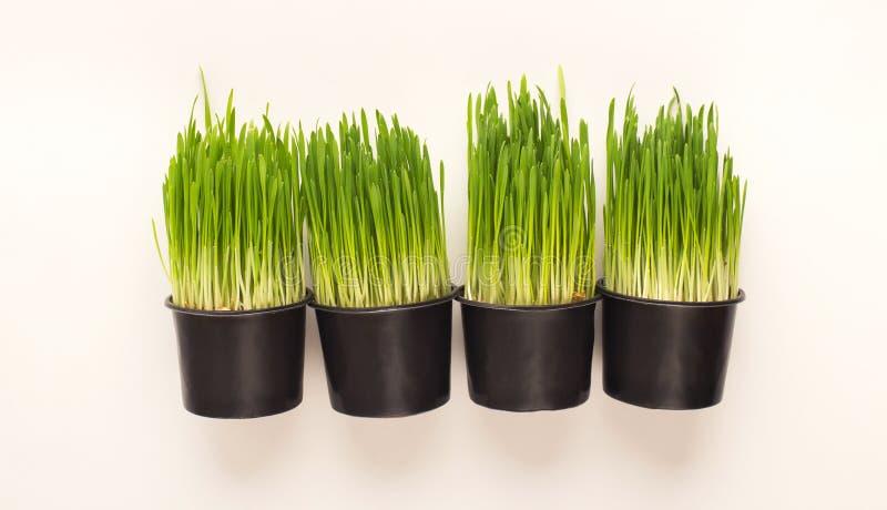 Gräs som växer i krukor som isoleras på vit royaltyfri foto