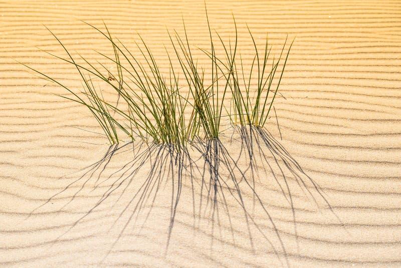 Gräs som växer till och med waveysanden royaltyfri bild