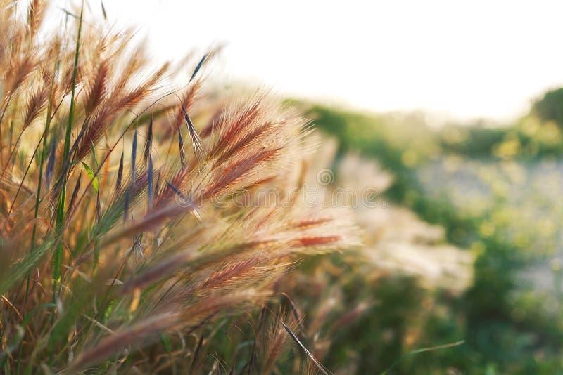 Gräs spikeleten på fältet på solnedgången, närbild arkivbilder