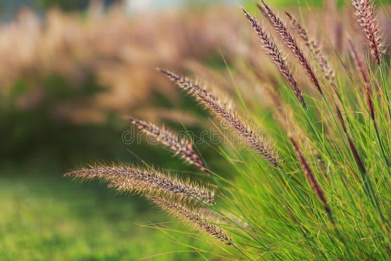 Gräs spikeleten på fältet på solnedgången, närbild fotografering för bildbyråer