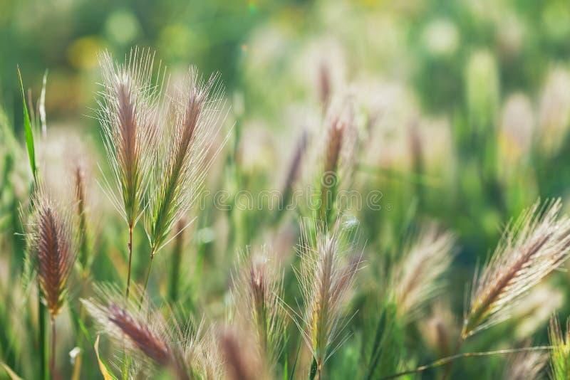 Gräs spikeleten på fältet på solnedgången, närbild arkivfoton
