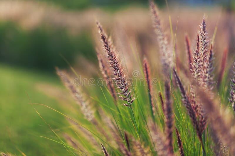 Gräs spikeleten på fältet på solnedgången, närbild royaltyfri fotografi