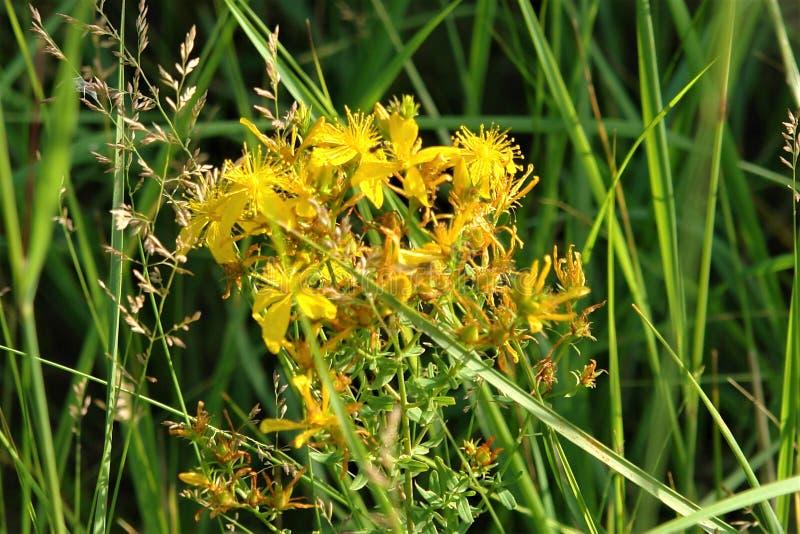 Gräs Sts John wort glöder i solen royaltyfri foto