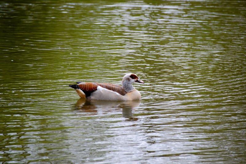 Gräsand Duck Drake arkivfoton