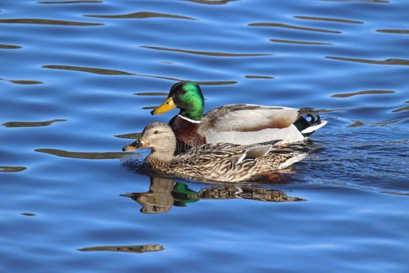 Gräsand Duck Pair royaltyfri foto