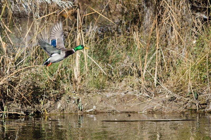 Gräsand Duck Taking Off från Autumn Pond arkivbild