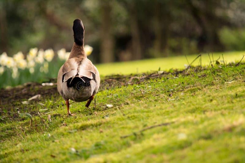 Gräsand Duck Walking Away arkivbild