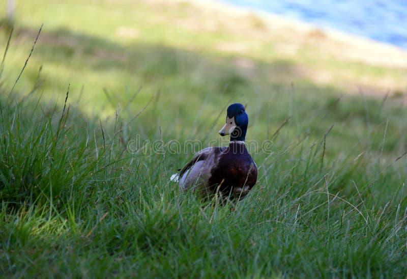Gräsand i gräset fotografering för bildbyråer