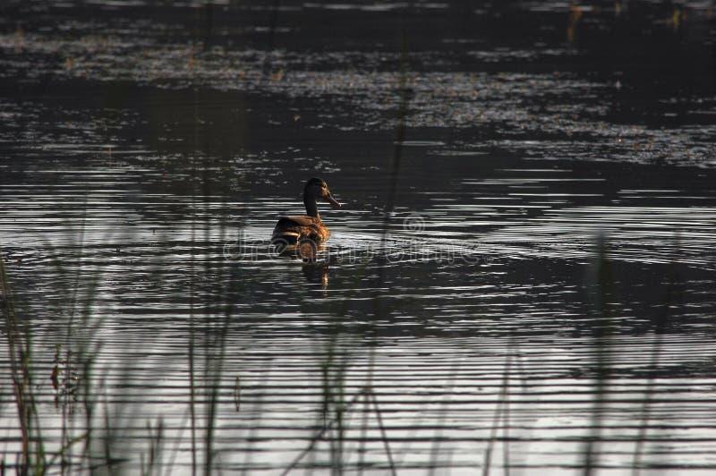 GräsandDuck Hen simning och sväva i liten vik på soluppgång arkivbilder