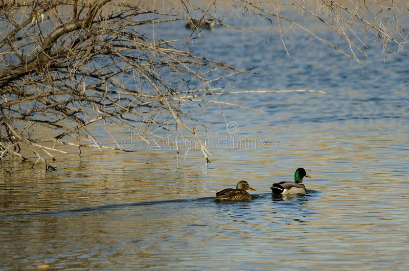Gräsandet duckar simning i Autumn Pond royaltyfria bilder