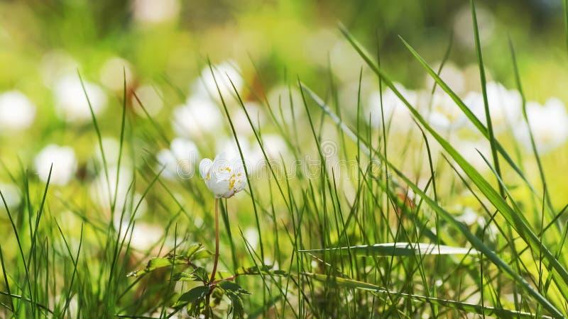 Gräsbakgrund med den suddiga anemonnemorozablomman royaltyfri fotografi