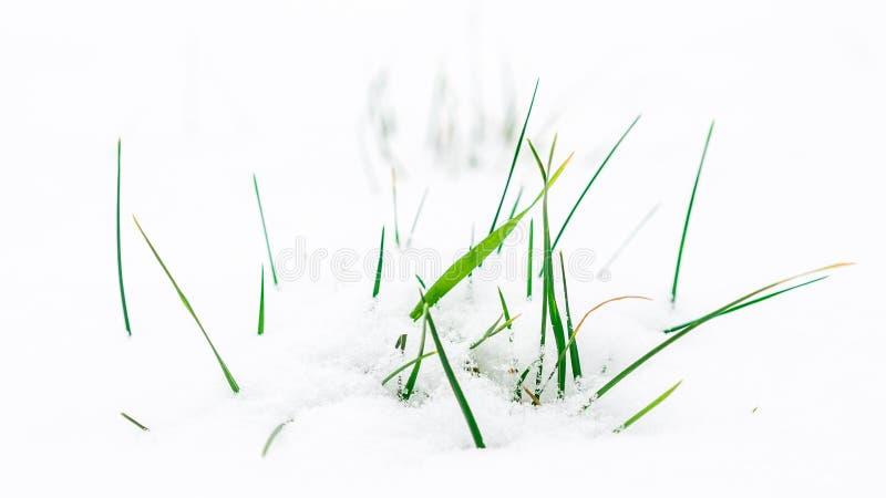 Gräsblad som ut klibbar från snöig äng arkivbilder