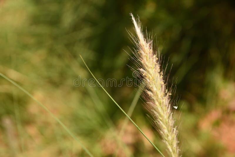 Gräsblomma i naturligt omge royaltyfri foto
