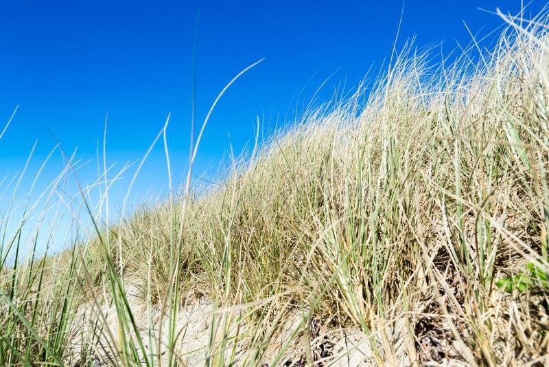 Gräser auf Hintergrund des blauen Himmels der Stranddünen stockfotos