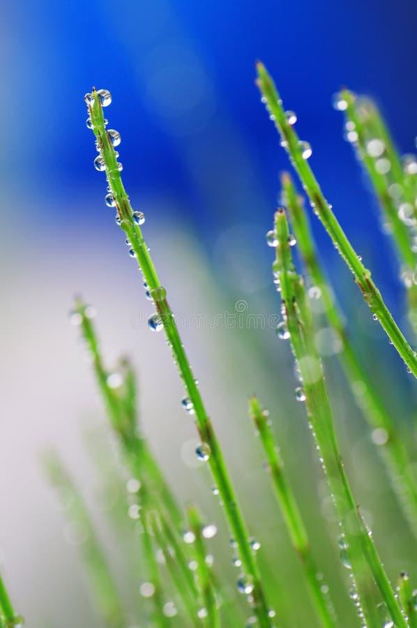 Gräser mit Dewdrops stockfoto
