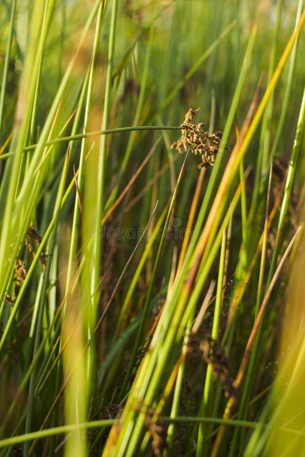 Gräser mit kopf- natürlichem Hintergrund des Samens lizenzfreies stockbild