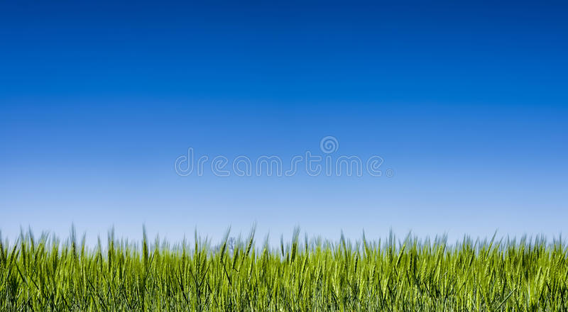 Gräsfält under en klar blå himmel arkivbilder