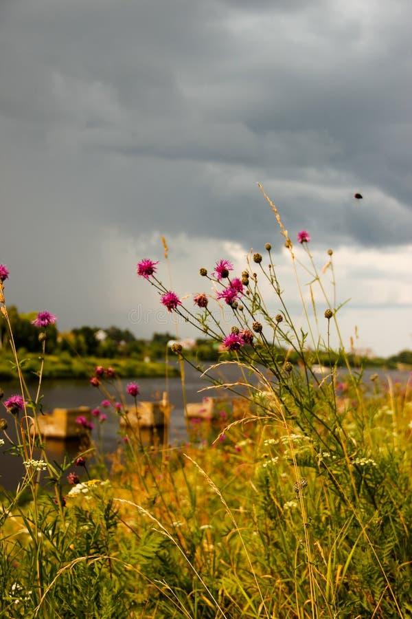 Gräsfilialer på bakgrunden av ett stormmoln arkivfoto
