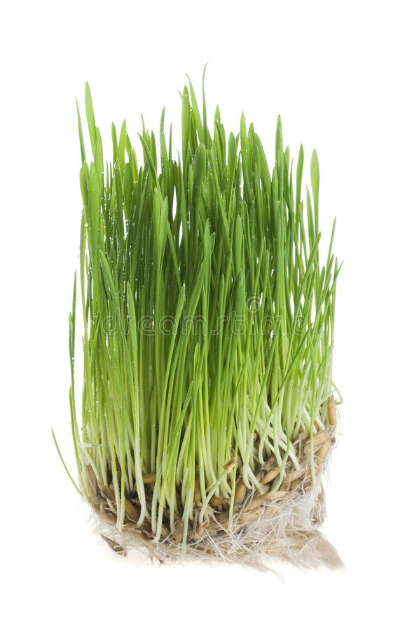 gräsgreen över groddvetewhite arkivbild
