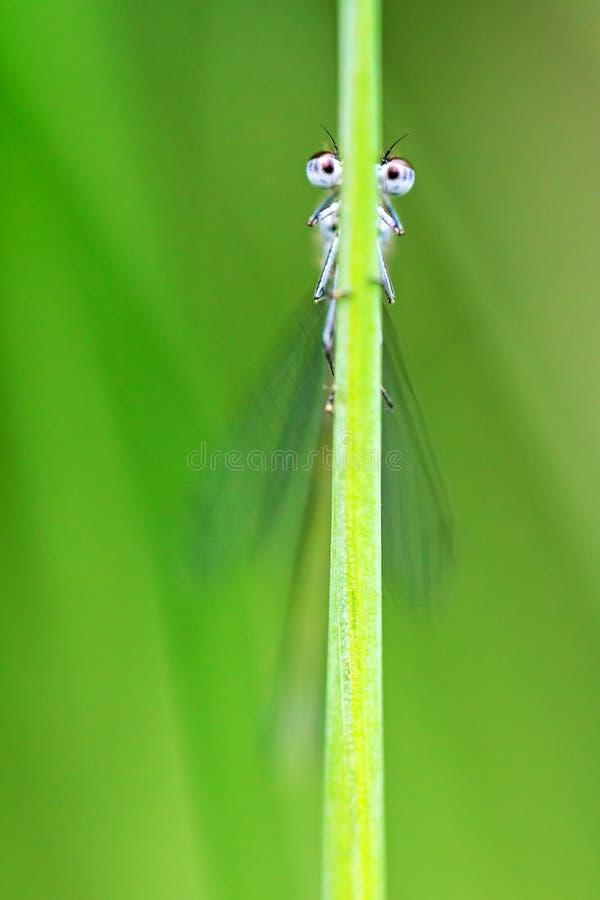 Gräshalm med ögon royaltyfri bild