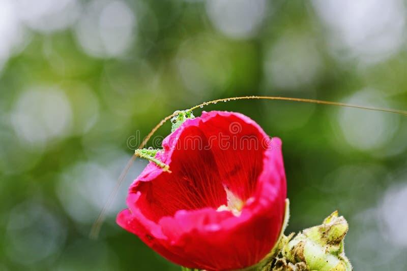 Gräshoppaögon ser ut bakifrån en blommamalva royaltyfria bilder