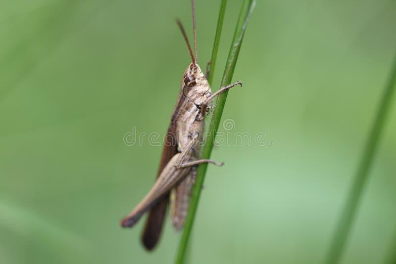 Download Gräshoppa arkivfoto. Bild av organism, syrsa, artesian - 27279214
