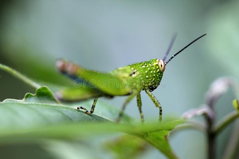 Download Gräshoppa arkivfoto. Bild av invertebrate, kryp, litet - 27279356